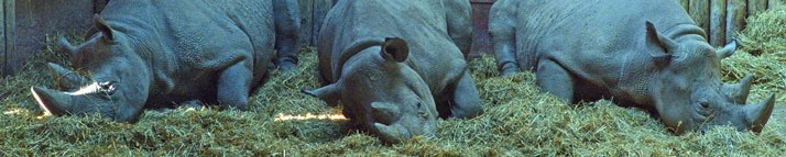 Photograph of rhinoceroses resting in their sleeping quarters at Chester Zoo
